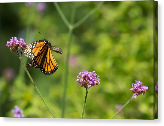 Flight Of The Monarch 2 Canvas Print