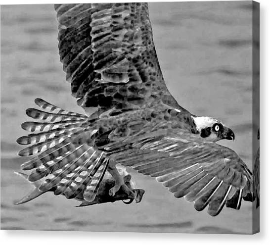 Flight Of The Osprey Bw Canvas Print