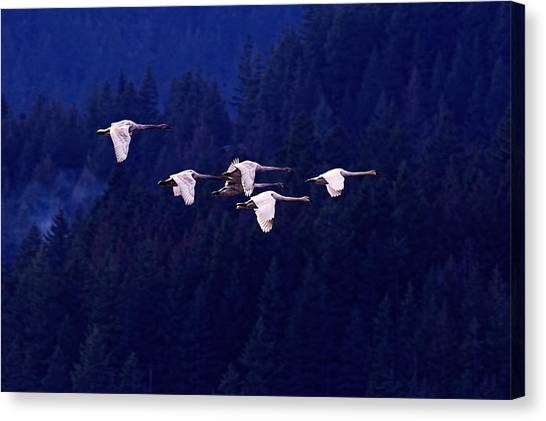 Flight Of The Swans Canvas Print by Sharon Talson