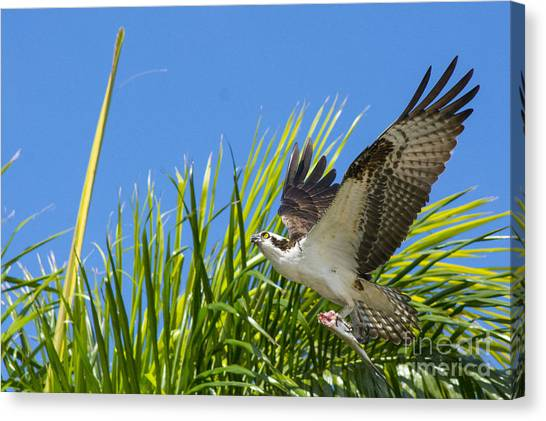 Osprey Canvas Print - Flight Through The Palms by Quinn Sedam