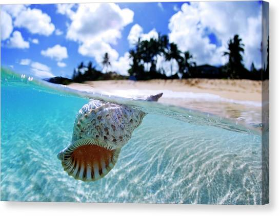 Conch Shells Canvas Print - Floating Conch Shell by Sean Davey