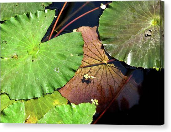 Floating Lily Pads Canvas Print