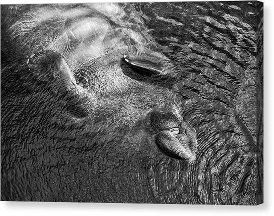 Floating Manatee Canvas Print
