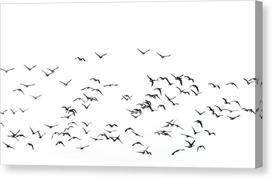 Lapwing Canvas Print - Flock Of Beautiful Migratory Lapwing Birds In Clear Winter Sky I by Matthew Gibson