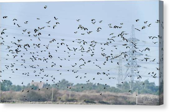 Lapwing Canvas Print - Flock Of Beautiful Migratory Lapwing Birds In Clear Winter Sky by Matthew Gibson