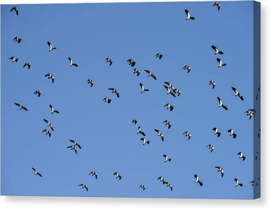 Lapwing Canvas Print - Flock Of Migratory Lapwing Birds In Clear Winter Sky by Matthew Gibson