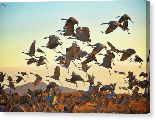Liftoff, Sandhill Cranes Canvas Print