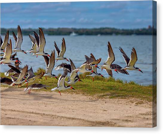 Biology Canvas Print - Flocking Home by John M Bailey