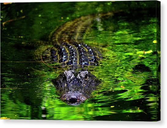 Florida Alligator Encounter Canvas Print