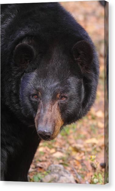 Florida Black Bear Canvas Print