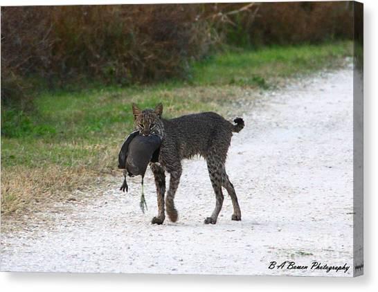 Florida Bobcat Catches An Evening Snack Canvas Print