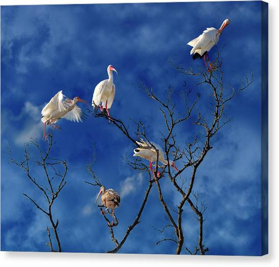 Ibis Canvas Print - Florida Keys The Exaggerated Ibis by Betsy Knapp