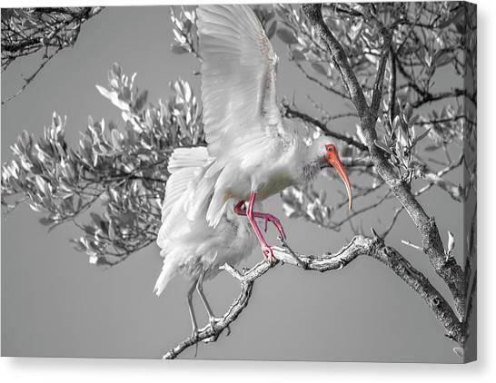 Ibis Canvas Print - Florida Keys White Ibis by Betsy Knapp
