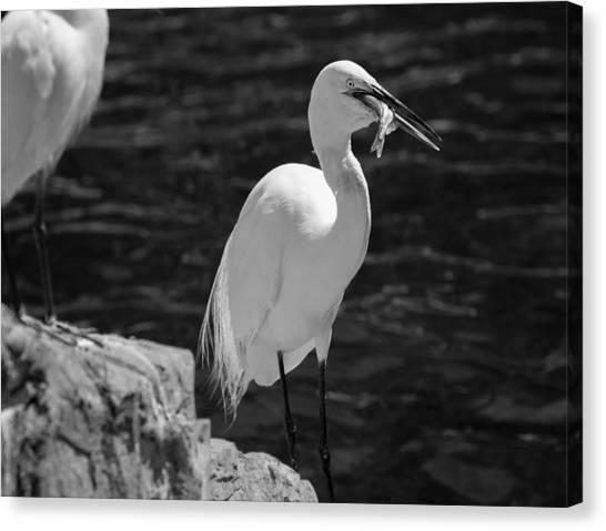 Florida White Egret Canvas Print