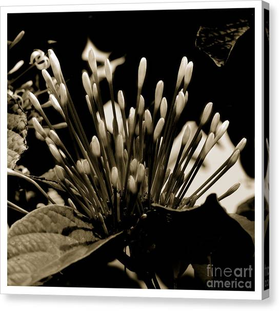 Florita Canvas Print by Son Of the Moon