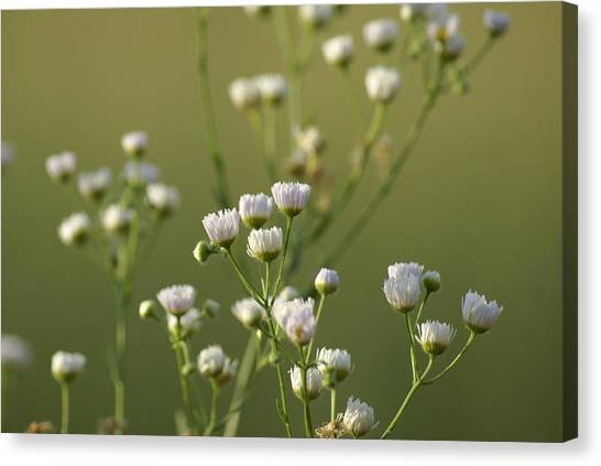 Flower Drops Canvas Print