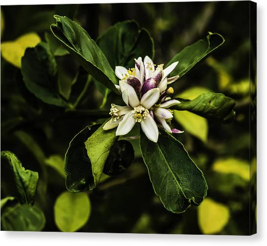 Flower Of The Lemon Tree Canvas Print