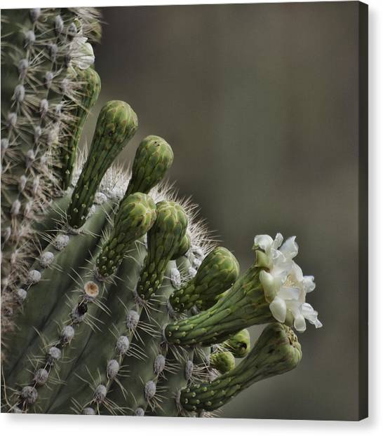 Flower Of The Saguaro Canvas Print