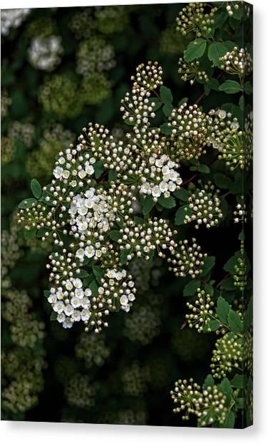 Flowering Bush Canvas Print by Robert Ullmann