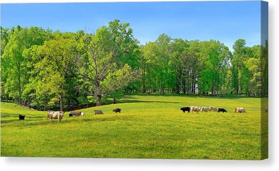 Flowering Cow Pasture Canvas Print