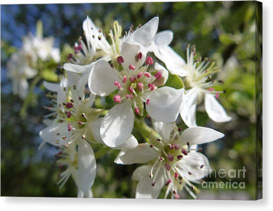 Flowering Of White Flowers 2 Canvas Print