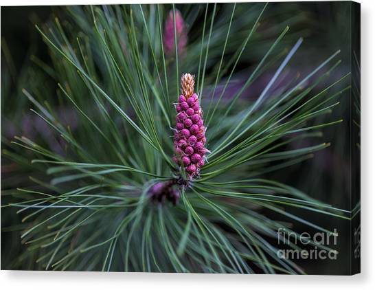 Flowering Pine Cone Canvas Print