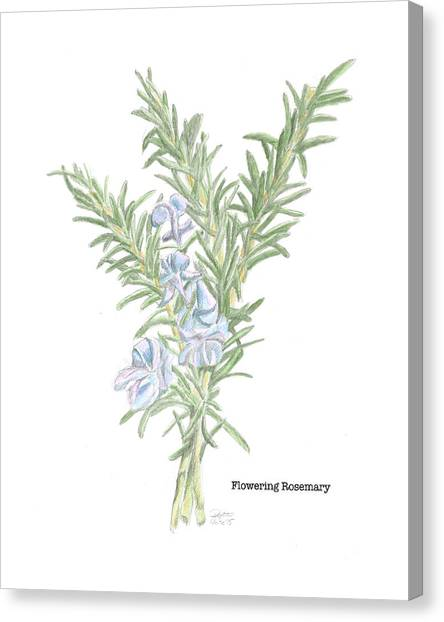 Flowering Rosemary Canvas Print
