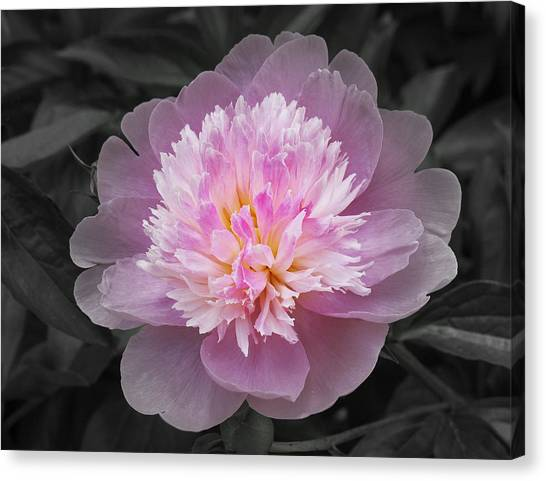 Flowering Spring Peony In Pink And Grey Canvas Print by Garth Glazier