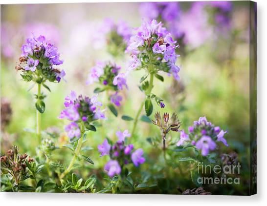 Canvas Print featuring the photograph Flowering Thyme by Elena Elisseeva