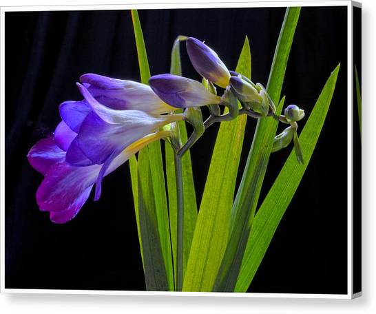 Flowers Backlite. Canvas Print