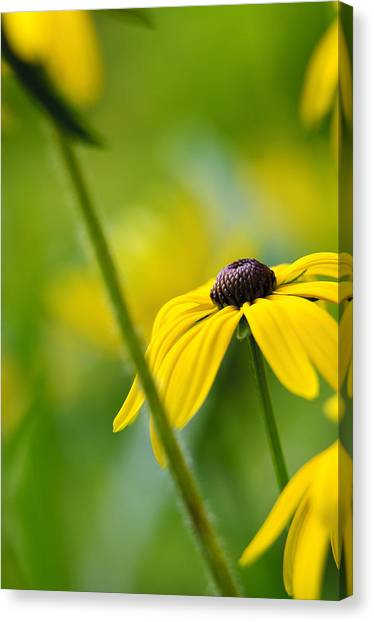 Andy Bloom Canvas Print - Flowerscape - Coneflower II by Andy-Kim Moeller