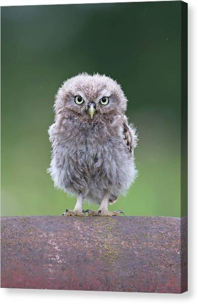 Fluffy Little Owl Owlet Canvas Print