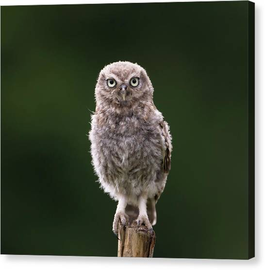 Fluffy Mcfluff-face Canvas Print