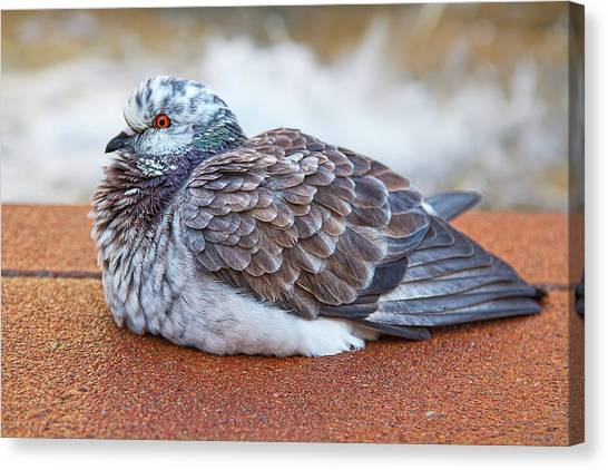 Fluffy Pigeon Canvas Print