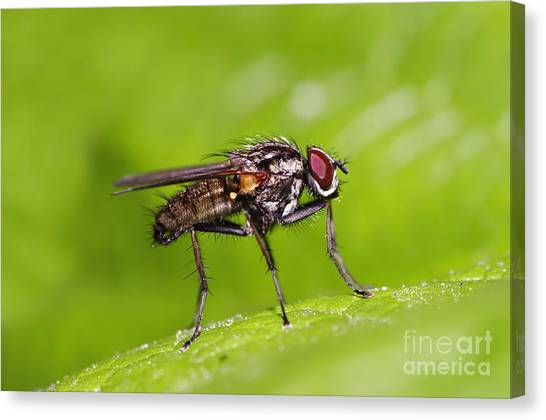Gnats Canvas Print - Fly On The Leaf by Michal Boubin