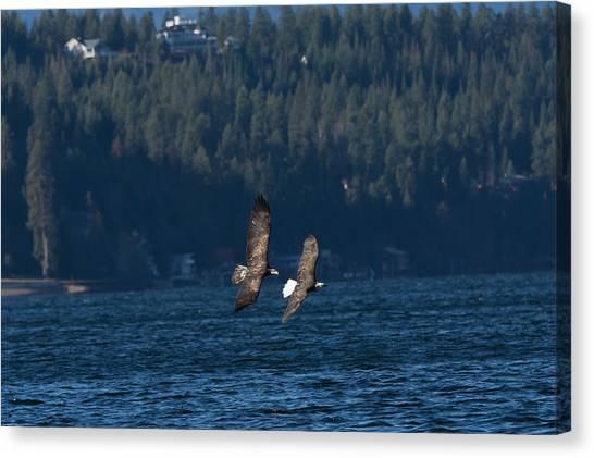 Flying Bald Eagles Canvas Print
