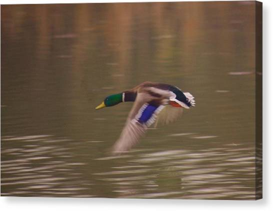 Flying Duck Canvas Print