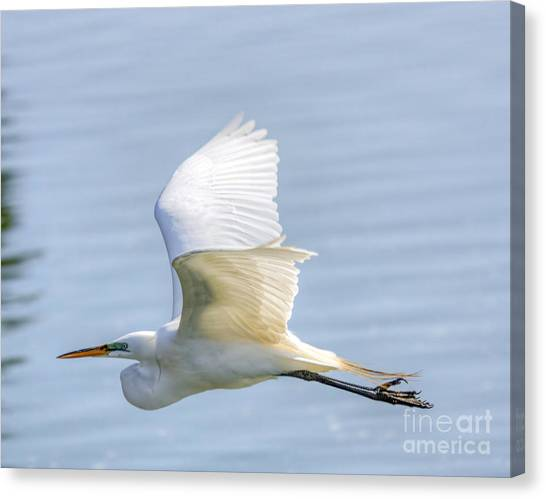 Flying Heron Canvas Print