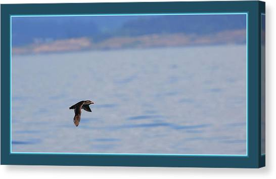 Auklets Canvas Print - Flying Rhino by BYETPhotography