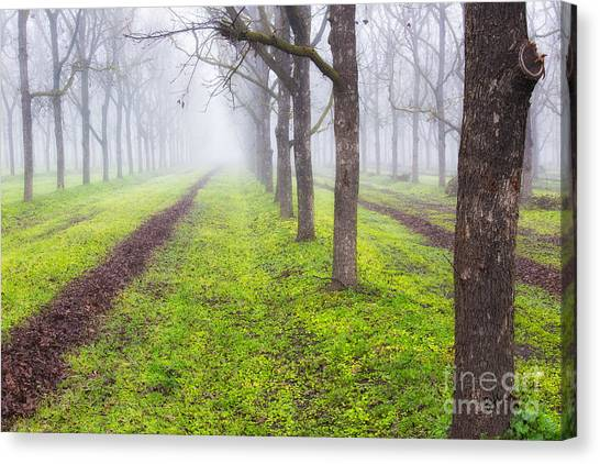 Fog And Orchard Canvas Print