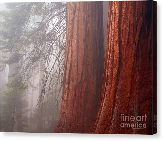 Fog In The Redwood Forest Sequoia National Park Canvas Print