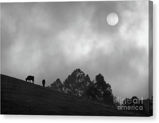Foggy Grazing Half Moon Bay California Canvas Print by Gus McCrea
