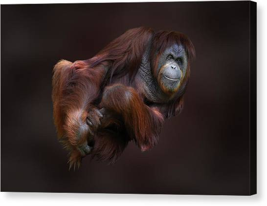 Folded Orangutan Canvas Print