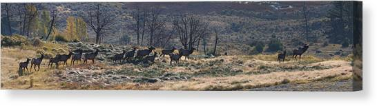 Yellowstone National Park Canvas Print - Follow The Leader - Elk In Rut by Mark Kiver