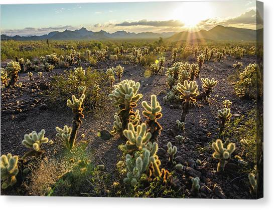 Canvas Print featuring the photograph Sea Of Cholla by Margaret Pitcher