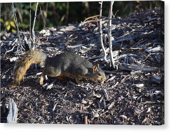 Squirrel Pprh Woodland Park Co Canvas Print