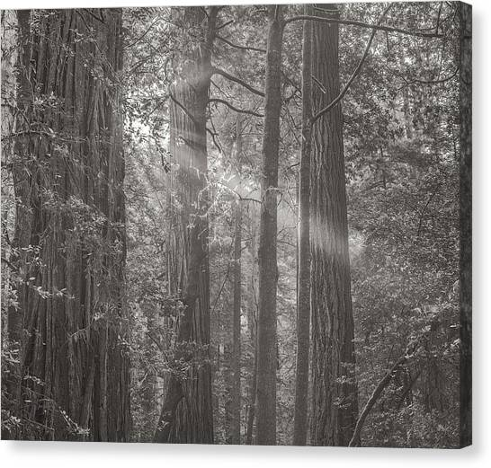 Redwood Forest Canvas Print - Forest Light by Joseph Smith
