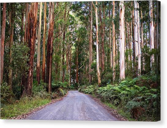 Great Otway National Park Canvas Print - Forest Road by Catherine Reading