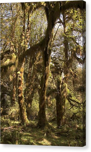 Forest Setting In Hoh Rain Forest Canvas Print
