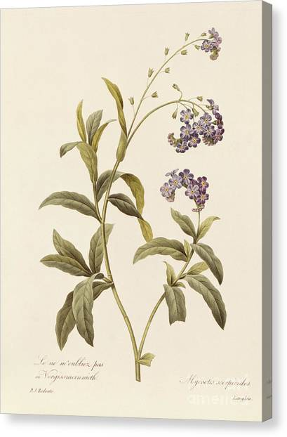 Purple Canvas Print - Forget Me Not by Pierre Joseph Redoute